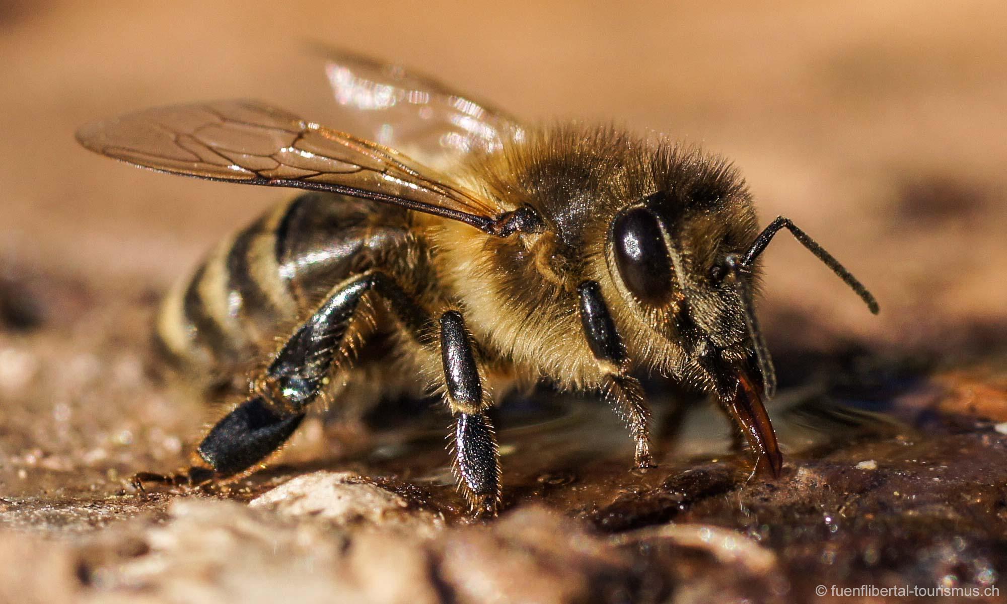 Ausflug der Bienen, Ziefen, 2011