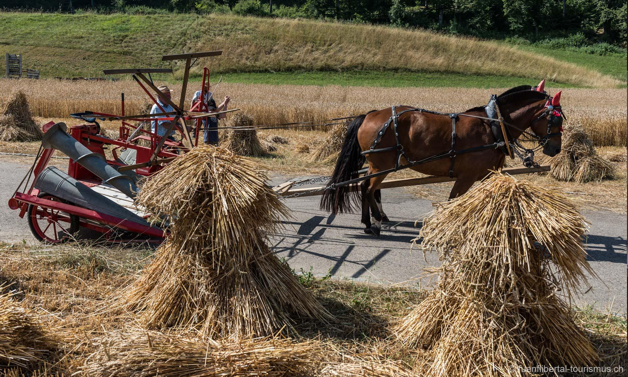 FALNOWE historisches Getreidemähen in Ziefen 2013